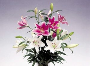 ユリ切り花